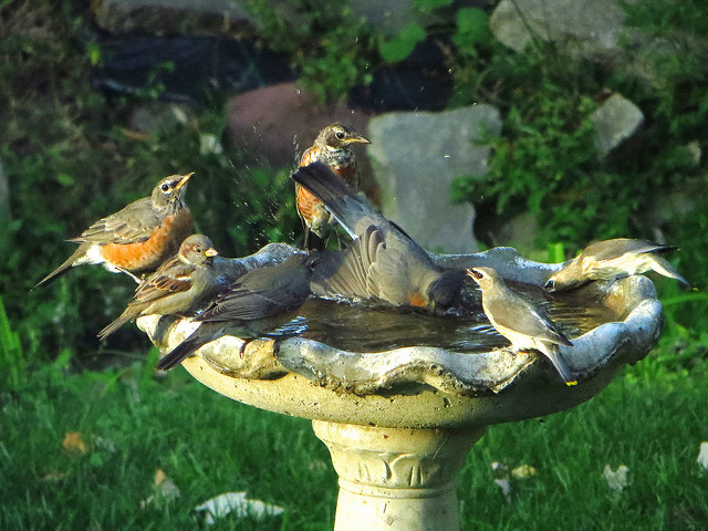 Bird Bath Party.  Source:  https://www.flickr.com/photos/j_regan/15128096200/